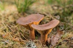 Lactarius rufus Ryży milkcap lub gorącej dojnej nakrętki jadalny dziki grzyb, Brown pieczarka, naturalnego środowiska tło obrazy royalty free