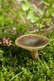 Lactarius turpis Lizenzfreie Stockfotos