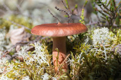 Lactariusrufus Royalty-vrije Stock Foto's