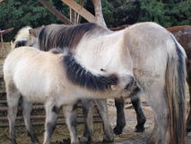 Lactating mare foal, South Bohemia. Czech Republic Stock Photography