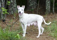 Lactating white Pitbull Terrier mixed breed dog. Female lactating White Pit bull terrier mix dog mutt recently had puppies. Outdoors on leash. Pet rescue stock images