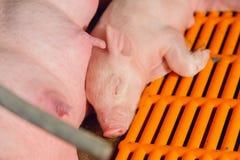 Lactation piglet. Cute lactation piglet in pig farm Stock Photo