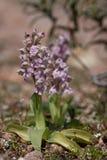 lactea orchis 免版税库存图片