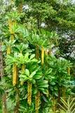Lactescens di Lophanthera, albero della catena dorata Fotografie Stock Libere da Diritti