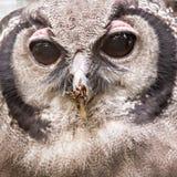 Lacteus do bubão, igualmente conhecido como Eagle Owl gigante ou leitoso fotos de stock