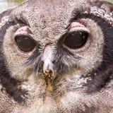 Lacteus do bubão, igualmente conhecido como Eagle Owl gigante ou leitoso imagens de stock royalty free