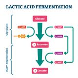 Lactic acid fermentation process scheme, labeled vector illustration diagram