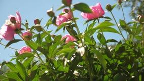 牡丹桃红色美丽的花在庭院里在春天震动风 美丽的芽开花芍药属lactiflora  股票录像