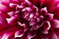 Lactiflora de Paeonia Image libre de droits