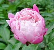 Lactiflora erbaceo cinese di fiore-Paeonia della peonia Fotografia Stock