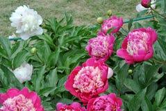 Lactiflora erbaceo cinese di fiore-Paeonia della peonia Fotografie Stock Libere da Diritti