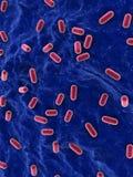 Lacto bacillus Royalty Free Stock Image