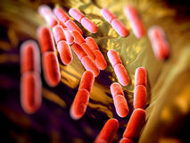 Lactobacillus bulgaricus bacteria. They are rod-shaped, gram-positive bacteria. They grow in acid media & produce lactic acid from the fermentation of royalty free stock images