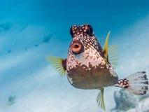 Lactophrys triqueter,光滑的热带硬鳞鱼 免版税库存图片