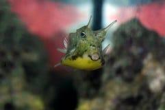 lactoria cornuta cowfish longhorn Στοκ Εικόνες