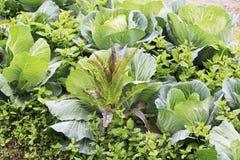 Lactuca και λάχανο Στοκ Φωτογραφίες