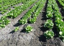 Lactuca sativa «πλαισιωμένο Butterhead» Στοκ Φωτογραφία