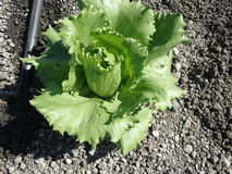 Lactuca sativa 'окаимленное Butterhead' Стоковое Изображение RF