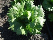 Lactuca sativa 'окаимленное Butterhead' Стоковое фото RF