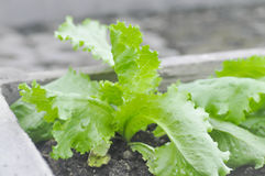 Lactuca sativa, салат в огороде Стоковые Изображения RF