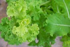 Lactuca sativa Стоковые Фотографии RF