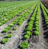 Lactuca sativa 'Butterhead', салат Butterhead Стоковые Изображения RF