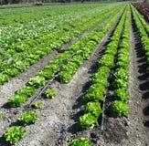 Lactuca sativa 'Butterhead' Стоковые Фотографии RF