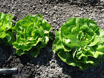 Lactuca sativa 'Butterhead'. Lettuce cultivar with compact spreading cluster of soft buttery leaves, popular as salad royalty free stock photo