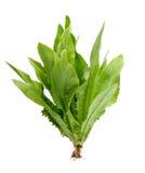 Lactuca sativa l на белой предпосылке Стоковая Фотография RF