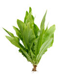 Lactuca sativa L on white background. 。 Royalty Free Stock Photography