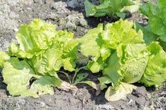 Lactuca sativa Linn (Lactuca) Стоковые Фотографии RF