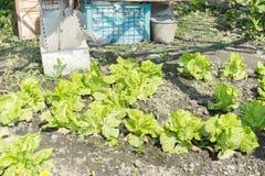 Lactuca sativa Linn (Lactuca) Стоковое Изображение