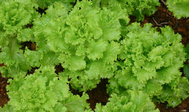 Lactuca sativa plants Royalty Free Stock Photo