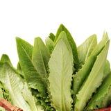 Lactuca sativa Stock Images