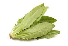 Lactuca sativa Royalty Free Stock Photos