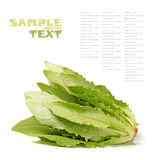 Lactuca sativa Royalty Free Stock Photography