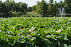 Lacul Tei公园在充分Bucharest湖开花waterlilies 免版税库存照片