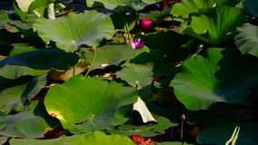 Lacustrine Landscape With Birds,Lotus Flowers, Waves And Reed. Nelumbo nucifera, also known as Indian lotus, sacred lotus, bean of India, or simply lotus, is one stock video footage