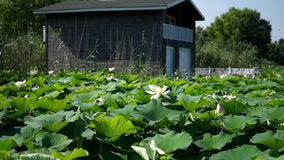 Lacustrine Landscape With Garage For Boats, Lotus Flowers And Waves. Untroubled Morning On The Lake, Version 2 stock video footage