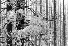 Lacy Hoarfrost Ice on Trees. Lacy winter hoarfrost ice decorates burn out trees in the forest stock images