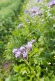 Lacy Phacelia de florescência violeta imagem de stock