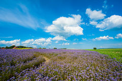 Lacy phacelia field. Field of blooming Lacy phacelia (Phacelia tanacetifolia) at a beautiful summer day Royalty Free Stock Image