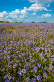 Lacy phacelia field. Field of blooming Lacy phacelia (Phacelia tanacetifolia) at a beautiful summer day Royalty Free Stock Photography