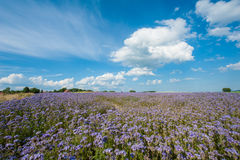 Lacy phacelia field. Field of blooming Lacy phacelia (Phacelia tanacetifolia) at a beautiful summer day Royalty Free Stock Images