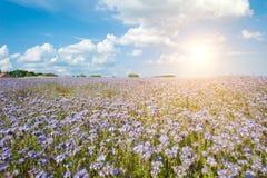 Lacy phacelia field. Field of blooming Lacy phacelia (Phacelia tanacetifolia) with a shining sun Stock Photo