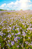 Lacy phacelia field Royalty Free Stock Photos