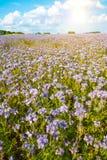 Lacy phacelia field. Field of blooming Lacy phacelia (Phacelia tanacetifolia) with a shining sun Royalty Free Stock Photos