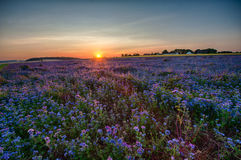 Lacy phacelia field. Field of blooming Lacy phacelia (Phacelia tanacetifolia) at sunset Royalty Free Stock Image