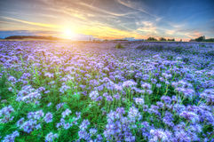 Lacy phacelia field. Field of blooming Lacy phacelia (Phacelia tanacetifolia) at sunset Royalty Free Stock Photos