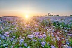 Lacy phacelia field. Field of blooming Lacy phacelia (Phacelia tanacetifolia) at sunset Stock Image